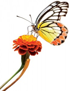 A Monarch Butterfly visits a marigold.