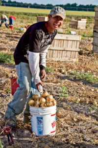 Onions are picked up in the field by hand.