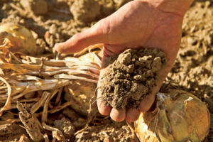 Sandy, rocky soils are great for growing onions.