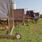 Mobile pens help keep pastures healthy while encouraging chickens to graze.