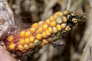 Drought-stricken corn; ''we could tell it wasn't worth combining.''