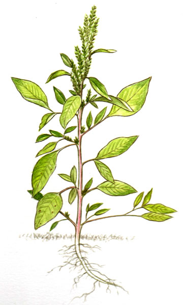 spiny pigweed