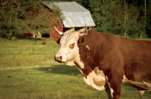 The grass-fed cattle the Garfrericks raise are hormone and antibiotic-free.
