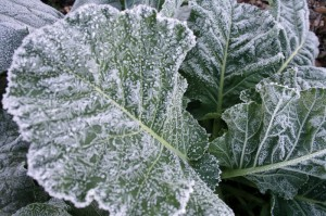 collards sweeten in flavor if they are left to the first frost, but wait until the leaves thaw and warm before harvest.