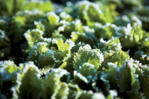 Lettuces can keep shooting new leaves until frost takes them out.