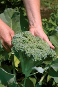 broccoli can produce new shoots if you take the first harvest near the crown.
