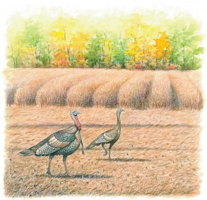 On the farm, leave crop residue on the soil surface as long as possible to provide cover and help support insect life that serves as food for birds.