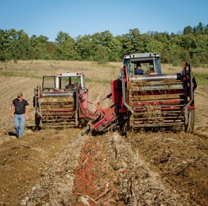 The working fleet of Massey Ferguson® tractors run the potato windrowers.