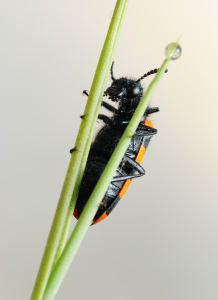 The blister beetle