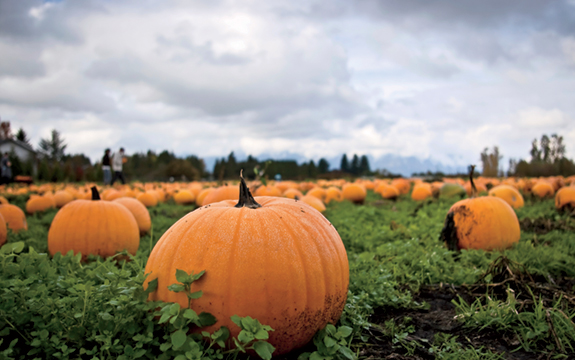 90% of all the pumpkins grown in the U.S. are raised within a 90-mile radius of Peoria, Ill.