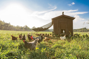 Heirloom chickens graze the property in mobile hen houses and fenced paddocks.