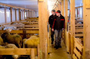 During winter Ismaël (foreground) and Sébastien house their sheep, as well as other farmers' cattle, in their newly renovated barns.