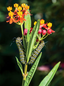 Monarch larvae feed on milkweed.
