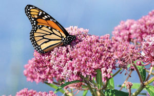 A monarch on milkweed.