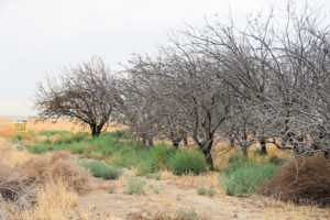 An orchard of dead nut trees in California's Central Valley stands as a stark reminder of the state's multi-year drought and unusually high temperatures.