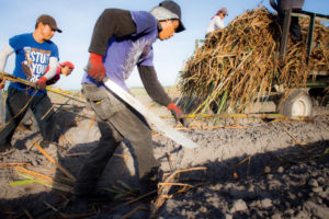 Typically from late September through January, sugar cane stalks are planted into furrows by hand.