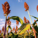 Sorghum needs ground that gets full sun and has fertile, well-drained soil.