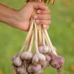 Harvest your garlic when the bottom three leaves of the plants turn brown.