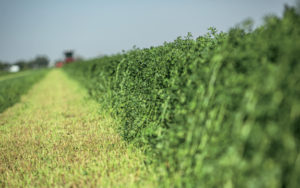 tight rows of quality alfalfa hay