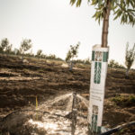 Newly-planted almond trees get a drink.